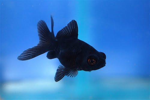 Say hello to a black moor goldfish.