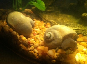 Hikaru and Kaoru, my apple snails (yes, I named them after two boys, their true identities unbeknownst to me at the time)